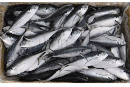ปลาหางแข็ง 6-8(10KG)