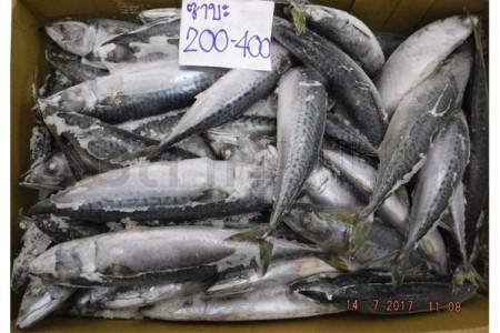 ปลาซาบะญี่ปุ่น 200-400(15KG) KANEKIU