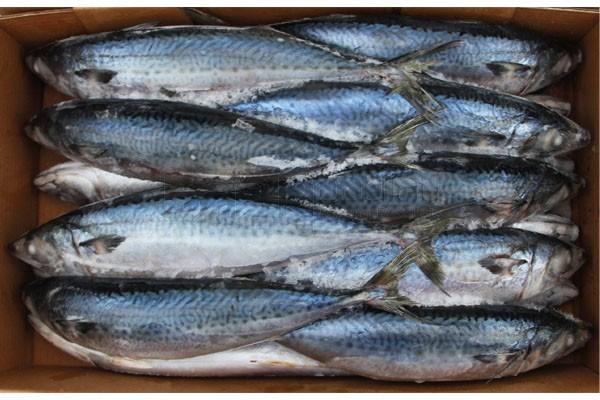 ปลาซาบะไต้หวัน 400-600(10KG)